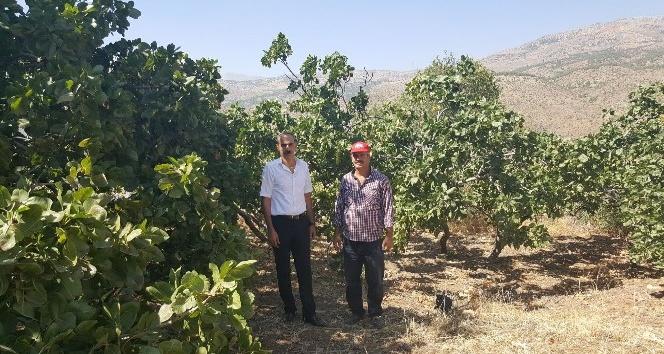 Sincik'te Melengiç ağaçları ürün vermeye başladı