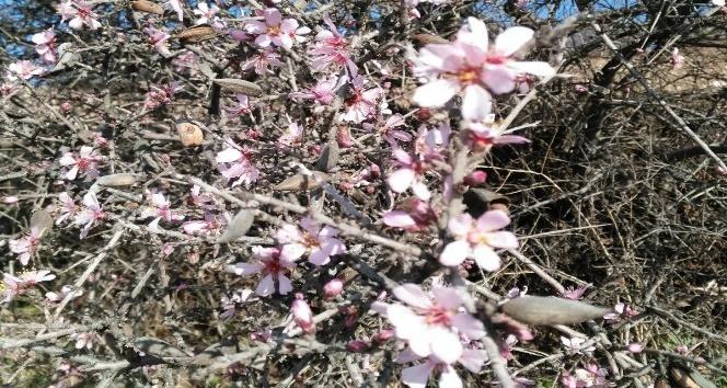 Kahta'da Ocak ayında bademler çiçek açtı