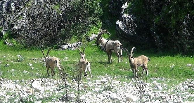 Avlanacak yaban keçilerinin ihalesi yapıldı