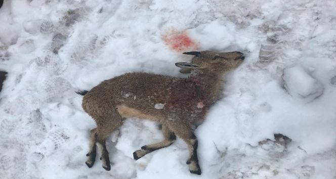 Kırsalda Aç Kalan Köpekler Yapan Keçilere Saldırdı