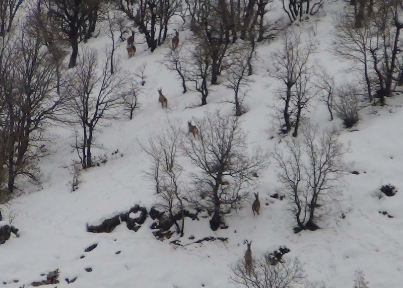 Dağ Keçileri Yiyecek Bulmak İçin Alçak Kesimlere İndi
