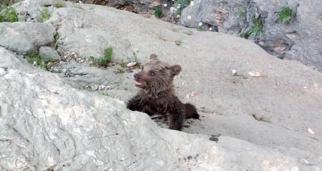 Gerger'de Kayalıklarda Mahsur Kalan Yavru Ayı Kurtarıldı