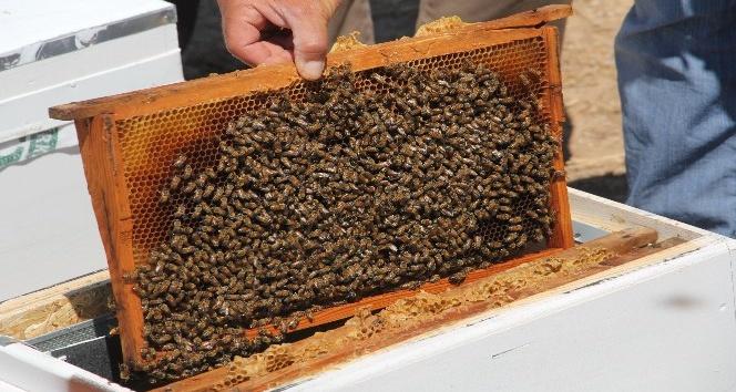 Adıyaman'ın yerli arıları tanımlanıyor