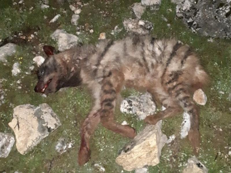Nesli Tükenmekte Olan Çizgili Sırtlan Vahşice Öldürüldü